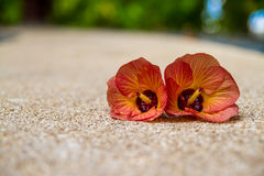 Two hibiscus flowers on the beach Stock Images
