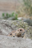Two hiding prairie dogs (genus Cynomys) Stock Image