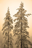 Two high pine trees Stock Images