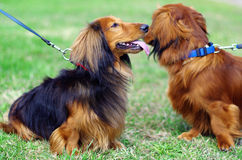 Two highbred german badger dogs. Sit on the grass outside Royalty Free Stock Photo