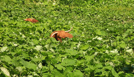 Two highland cattles relaxing and hiding in deep vegetation. Two highland cattles are relaxing and hiding in deep vegetation. Funny and peaceful situation Royalty Free Stock Image