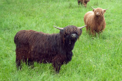 Two highland cows Royalty Free Stock Images