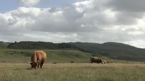 HIGHLAND COWS GRAZE SCOTLAND HD. Two highland cows graze in a field stock footage