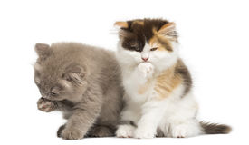Two Highland fold kittens playing together, isolated Royalty Free Stock Images