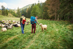 Two hikers walking by sheep in the outdoors Royalty Free Stock Photo