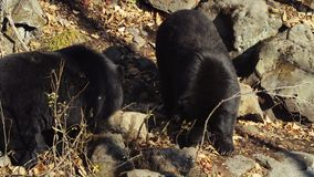 Two Himalayan black bears look for something in Primorsky Safari Park, Russia. Two Himalayan black bears are looking for something in dried leaves Primorsky stock footage