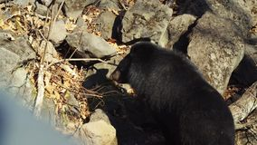 Two Himalayan black bears walk around in Primorsky Safari Park, Russia. Two Himalayan black bears are walking around in autumn Primorsky Safari Park for injured stock video footage