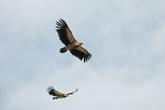 Two of Himalayan Griffon Vulture Stock Images