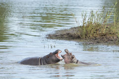 Two Hippo (Hippopotamus amphibious) playing Stock Photos