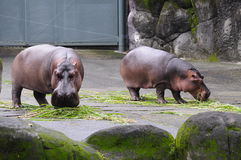 Two Hippo. Located in Muzha, Taipei City Zoo is a few minutes' walk from the Taipei City Zoo MRT Station. It is considered as one of the largest zoos in Asia royalty free stock photography