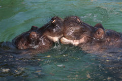 Two hippo lovers. Detail view of two kissing Hippopotamus amphibius royalty free stock image