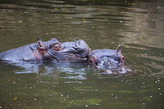 Two Hippo Playing in the Water 1 Stock Images