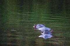 Two hippo's. Chasing each other in the water Stock Images