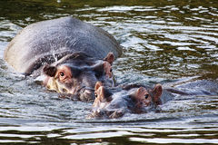 Two hippo's. Chasing each other in the water Royalty Free Stock Image