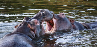 Two hippo's fighting. In the water Stock Photos