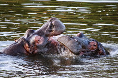 Two hippo's fighting Royalty Free Stock Photos