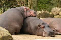 Two hippo's sleeping Stock Image