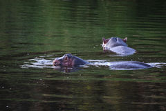 Two hippo's. In the water Stock Photo