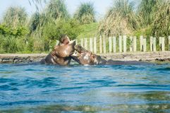 Two Hippopotamus. Animal Hippopotamus amphibius; South Africa royalty free stock photo