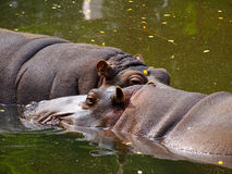 Two hippopotamus Stock Photography