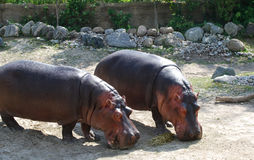 Two Hippopotamus. Are eating hay. Toronto ZOO, Canada Royalty Free Stock Image