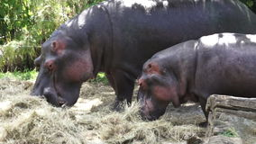 Two Hippopotamus eat hay. Two Hippopotamus (Hippopotamus amphibius) eat hay. The hippopotamus is a highly aggressive and unpredictable animal and is ranked among stock footage