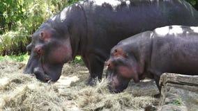 Two Hippopotamus eat hay stock footage