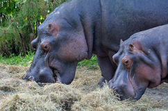 Two Hippopotamus eat hay Stock Photography