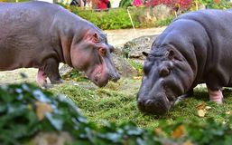 Two Hippopotamus eating green grass. Two big Hippopotamus eating green grass in Vienna zoo, Austria, october 2017 Royalty Free Stock Photos
