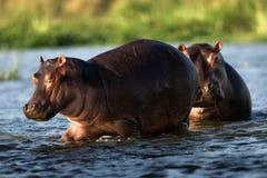 Two hippopotamuses. / The river Zambezi. Zambia. Africa Royalty Free Stock Photography