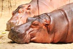 Two hippopotamuses. Sleeping in the warm weather stock image