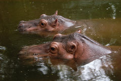 Two hippopotamuses Stock Images