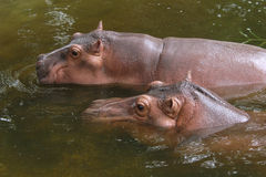 Two hippopotamuses Royalty Free Stock Images