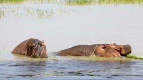 Two hippopotamuses in Lake Baringo. Two hippopotamuses eating grass in Lake Baringo stock video