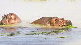 Two hippopotamuses in Lake Baringo. Two hippopotamuses eating grass in Lake Baringon stock footage