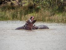 Two Hippopotamuses play fighting in the St. Lucia Wetlands Park in South Africa. The common hippopotamus, or hippo, is a large, mostly herbivorous, semiaquatic royalty free stock image