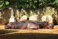 Two hippopotamuses resting on the ground. Two hippopotamuses Hippopotamus Amphibius resting on the ground stock photography