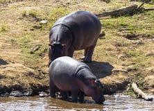 Two hippopotamuses on the river bank. Masai Mara, Kenya. Africa royalty free stock photography
