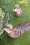 Two Hippopotamuses Showing Huge Jaw and Teeth Royalty Free Stock Photos