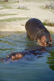 Two Hippos Royalty Free Stock Photo