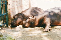Two hippos Royalty Free Stock Photography