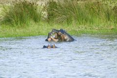 Two hippos bathing in water in the Greater St. Lucia Wetland Park World Heritage Site, St. Lucia, South Africa Stock Photos