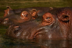 Two Hippos close together Royalty Free Stock Photo