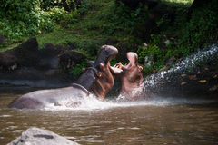 Two hippos fighting playing with mouth wide open in the water. Two hippos fighting playing with mouth wide open in the water at daytime to show who is boss Royalty Free Stock Photo