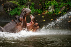 Two hippos fighting in the water. Two hippos fighting with mouth wide open in the water at daytime to show who is boss Stock Photo