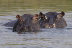 Two hippos looking above water Royalty Free Stock Photos