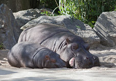 Two hippos, mother and child Stock Photos