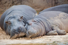 Two Hippos resting at riverbed. Hippo mother and child resting at riverbed in Africa Stock Photography