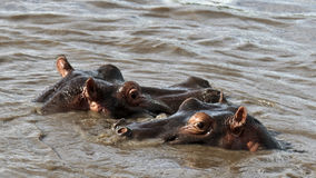 Two hippos are in the river. Serengeti National Park of Tanzania Royalty Free Stock Image