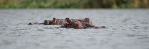 Two hippos showing only heads above water Royalty Free Stock Images